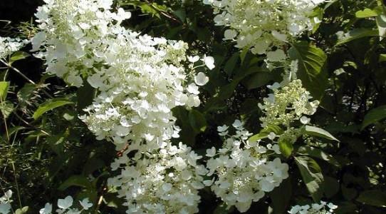 Hydrangea paniculata2