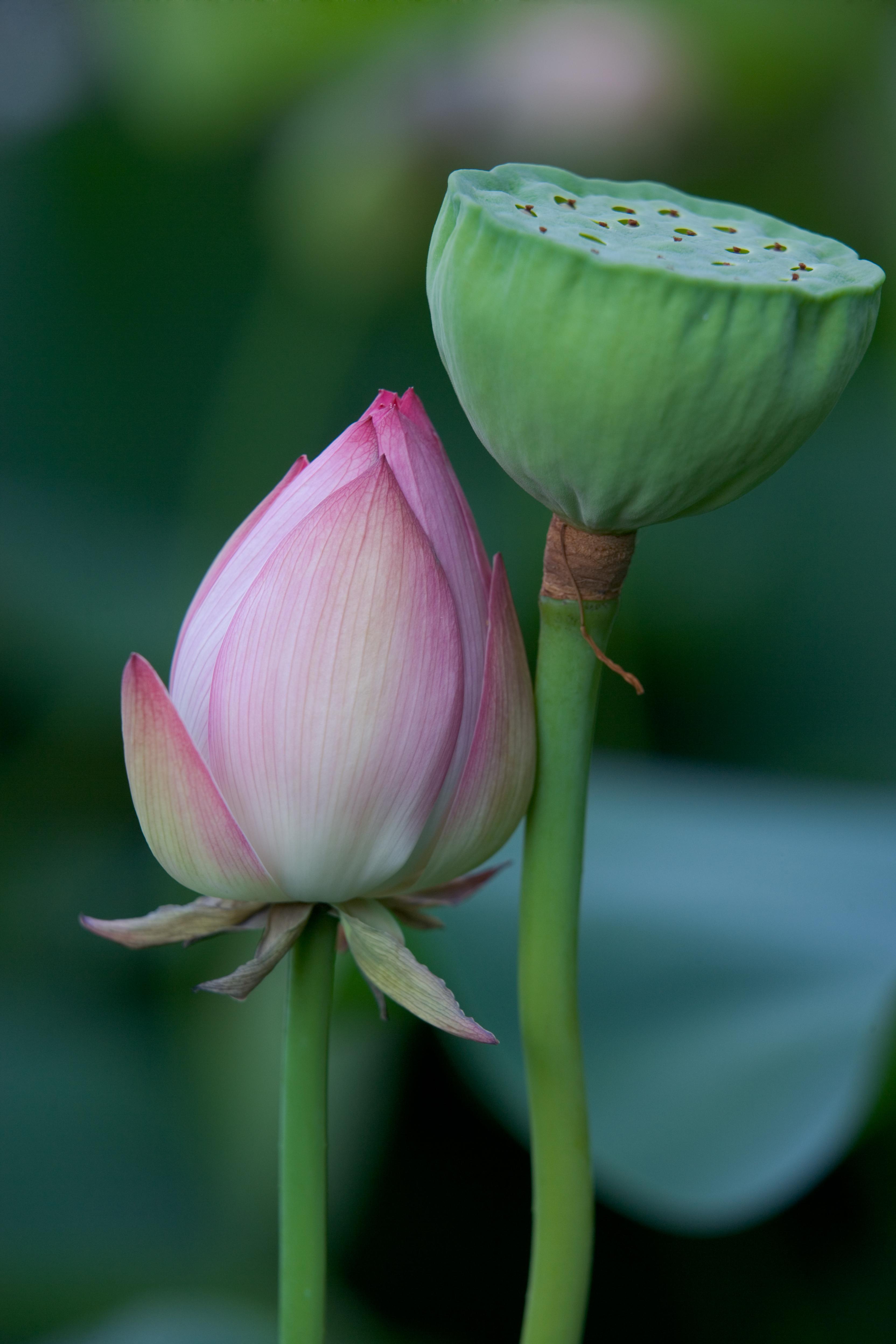 The Lotus Garden Giardino Segreto