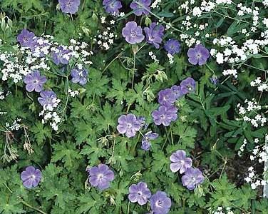 geranium Hybridum Rozanne1
